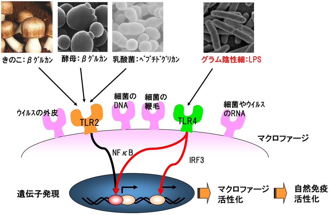 LPSの構造と機能|自然免疫応用技研(株)|LPS原料|研究開発|受託 ...