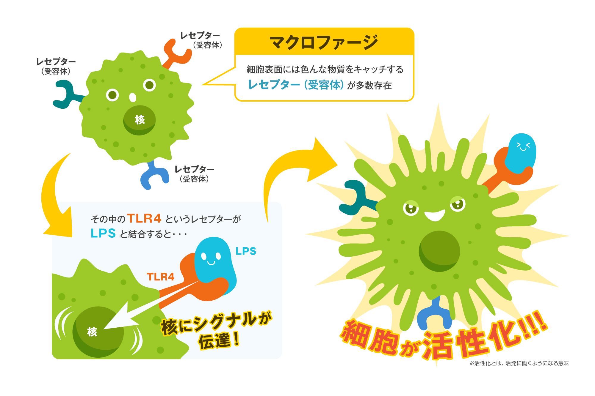 LPSは免疫力アップに欠かせない成分!効果と危険性を紹介 | やさしいLPS